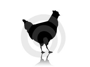 ayam kampung hitam